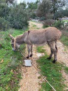 Vrsinski magarac